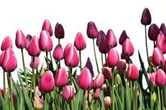 Tulips da cor-de-rosa quente Fotografia de Stock Royalty Free