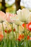 Tulips da cor do detalhe Fotografia de Stock