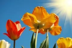 Tulips da cor na luz do sol fotografia de stock royalty free