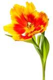Tulips da mola Fotografia de Stock