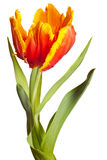 Tulips da mola Fotos de Stock Royalty Free