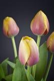 Tulips da mola Imagem de Stock