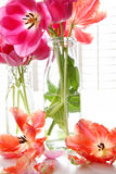 Tulips da mola em uns frascos de leite velhos Fotos de Stock