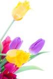 Tulips da mola isolados em um branco Foto de Stock