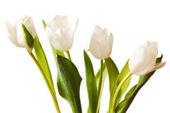 Tulips da mola no branco Imagens de Stock