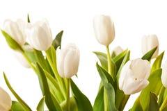 Tulips da mola no branco Fotografia de Stock
