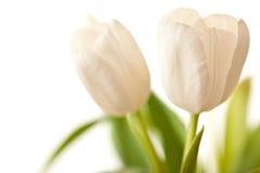 Tulips da mola no branco Imagens de Stock Royalty Free