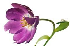 Tulips da mola no roxo Fotografia de Stock Royalty Free