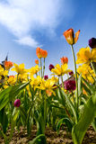 Tulips & Daffodils Royalty Free Stock Photo