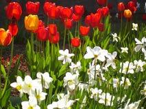 Tulips and daffodils. On backlighting stock image