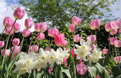 Tulips and daffodils Royalty Free Stock Photography