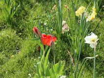 Tulips and daffodils. In the breeze stock video footage