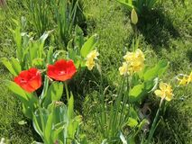 Tulips and daffodils. In the breeze stock footage