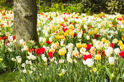 Tulips, daffodils and Imperial Stock Image