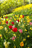 Tulips and daffodils in lots of colors in spring Stock Photo