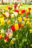 Tulips and daffodils in lots of colors in spring. Tulips and daffodils in lots of colors in park in spring Stock Image