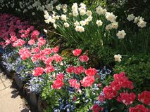 Tulips & Daffodils Royalty Free Stock Image