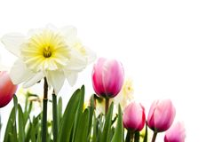 Tulips and daffodils on white background Royalty Free Stock Photography