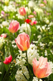 Tulips and daffodils in white and pastelcolors Stock Image