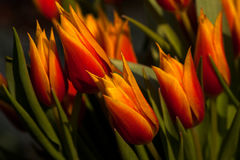 Tulips dancing. Tulips flowers - dance of bouquet impression. Macro photography of nature Royalty Free Stock Photo