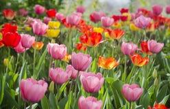 Tulips de cores diferentes imagens de stock