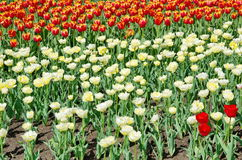 Tulips de cores diferentes Fotos de Stock Royalty Free
