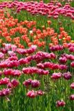 Tulips de florescência Fotografia de Stock Royalty Free
