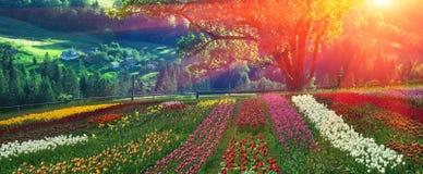 Tulips de florescência Fotos de Stock Royalty Free