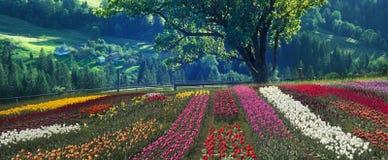 Tulips de florescência Foto de Stock Royalty Free