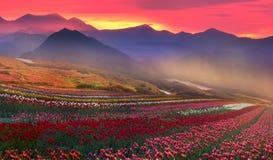 Tulips de florescência Imagens de Stock Royalty Free