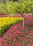 Tulips de florescência Fotos de Stock