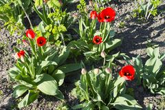 Tulips de florescência Fotografia de Stock