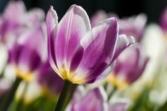 Tulips de florescência no jardim da mola fotografia de stock royalty free