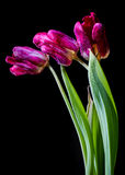 Tulips de morte Imagens de Stock