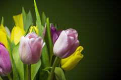 Tulips. Delicate and bright tulips on a dark background Royalty Free Stock Photos