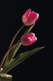 Tulips. Details of some tulips pink and purple Royalty Free Stock Image