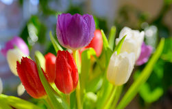 Tulips with dew drops Stock Photos