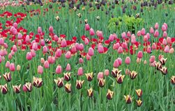 Tulips of different colors in the city garden royalty free stock image
