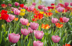 Tulips of different colors Stock Images