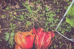 Tulips on Dirt with weeds royalty free stock image
