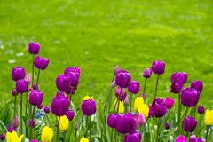 Tulips. On display in a spring garden Royalty Free Stock Photo