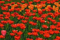 Tulips do Glade Fotografia de Stock