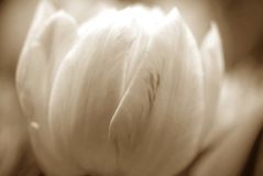 Tulips do Sepia Imagem de Stock Royalty Free