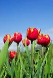 Tulips e céu Imagens de Stock Royalty Free