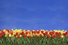 Tulips e céu azul coloridos Imagem de Stock Royalty Free