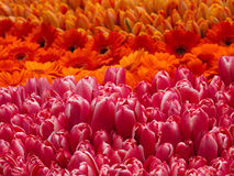 Tulips e gerberas Fotos de Stock