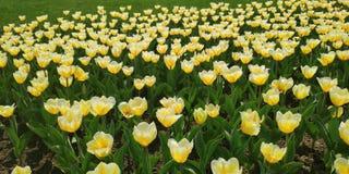 Tulips em Moscovo fotografia de stock royalty free