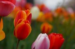 Tulips em um campo Foto de Stock Royalty Free