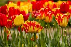 Tulips em um campo Imagens de Stock Royalty Free