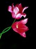 Tulips encantadores. Fotos de Stock